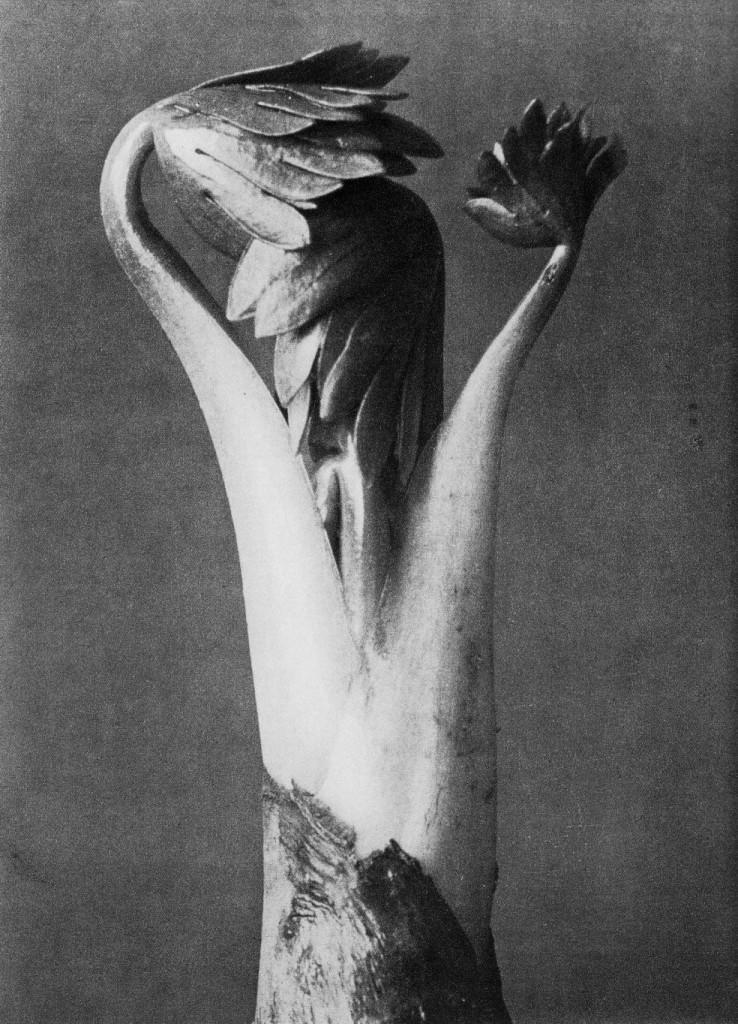 Aconitum. Acónito. Joven vástago. Fotografía de Karl Blossfeldt